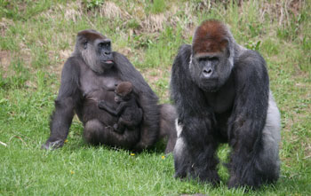 Gorillas in Givskud Zoo