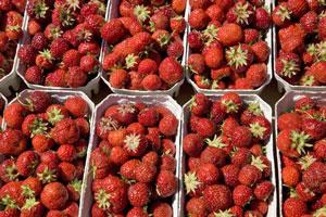 Frische Erdbeeren von Samsø